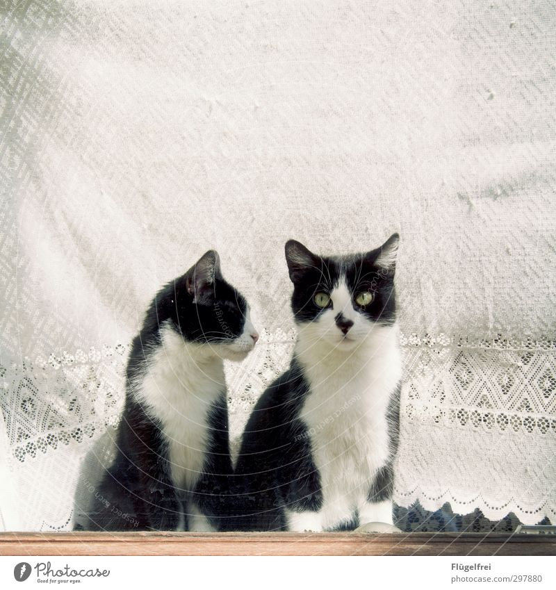 Don't say anything now. Cat 2 Animal Observe Patch Car Window Curtain Lace White Looking Window board Flat (apartment) Beautiful Colour photo Subdued colour