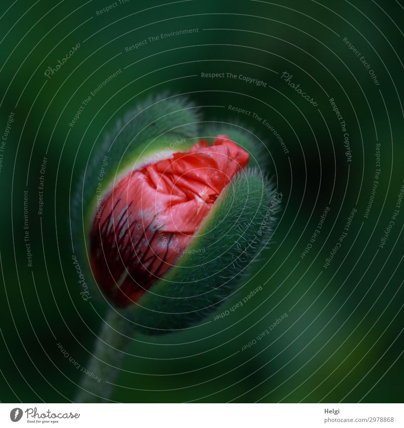 Close-up of an opening poppy bud with red petals Environment Nature Plant Spring Flower Blossom Bud Poppy blossom Garden Blossoming Growth Esthetic Beautiful