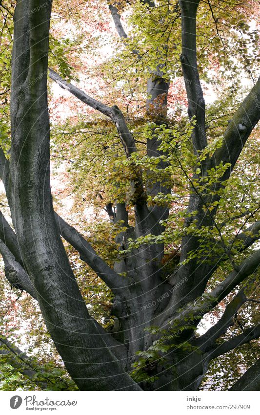 spring Nature Spring Summer Beautiful weather Tree Copper beech Tree trunk Branch Branchage Garden Park Growth Gigantic Large Tall Natural Above Strong Size