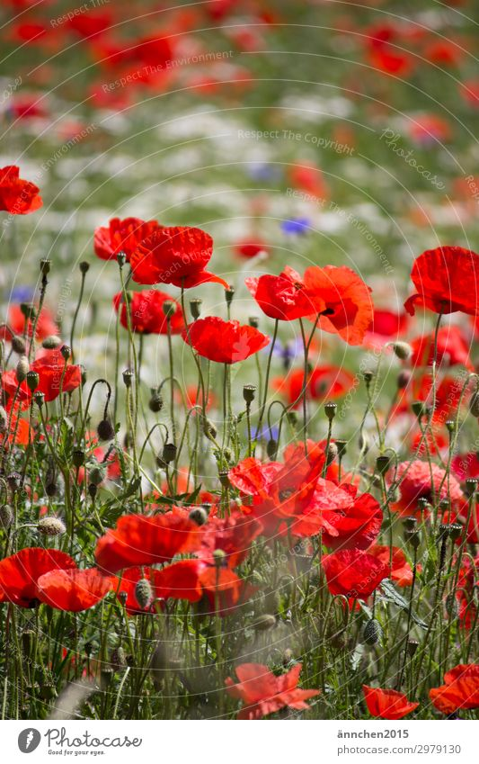 poppy meadow Red Blue Poppy Cornflower Meadow flower Flower meadow White Nature Summer Spring Plant Exterior shot Pick Bouquet