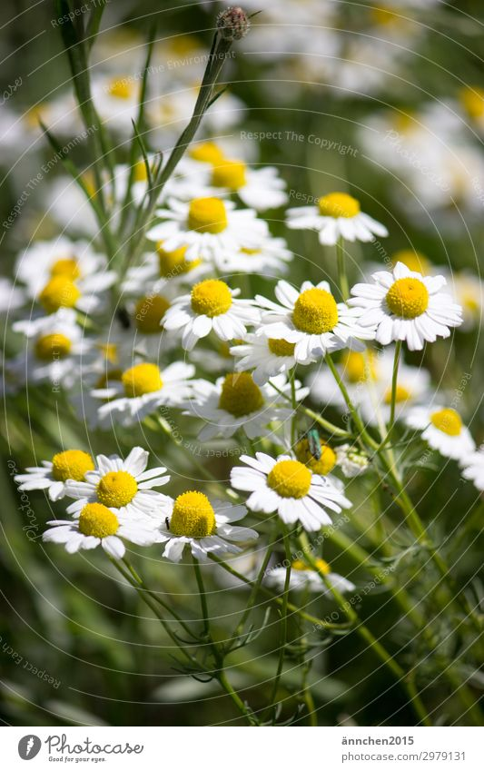 summertime Summer Spring Flower Field Blossom White Green Yellow Pick Bouquet Country life Nature Plant Summer solstice