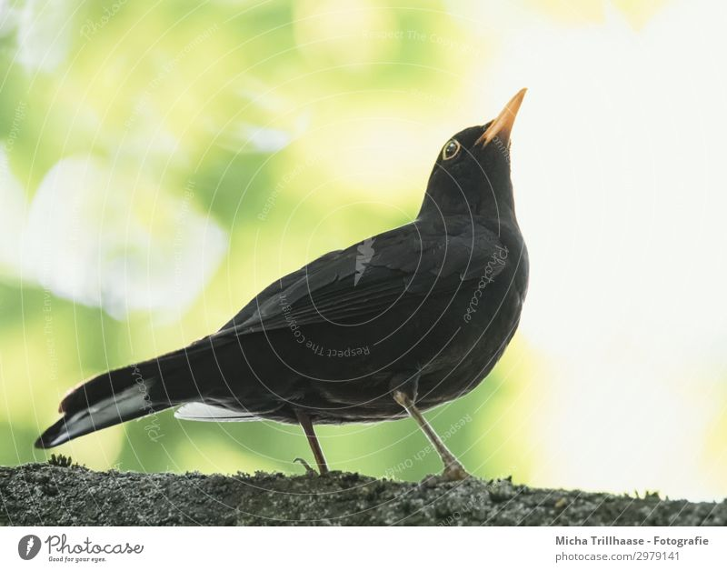 Blackbird in a tree Nature Animal Sun Sunlight Beautiful weather Tree Leaf Twigs and branches Wild animal Bird Animal face Wing Claw Feather Plumed Beak Eyes 1
