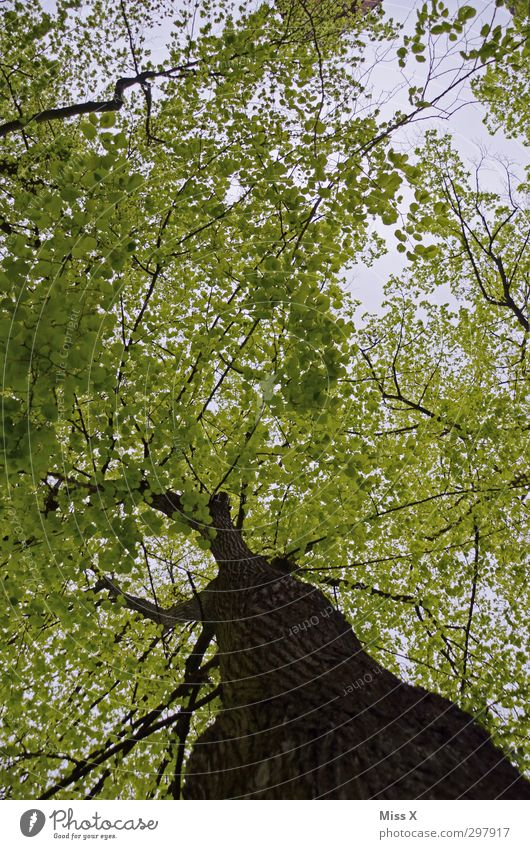 Nature Old Green Summer Tree Leaf Forest Spring Large Growth Branch Tree trunk Treetop Tree bark Twigs and branches Leaf green