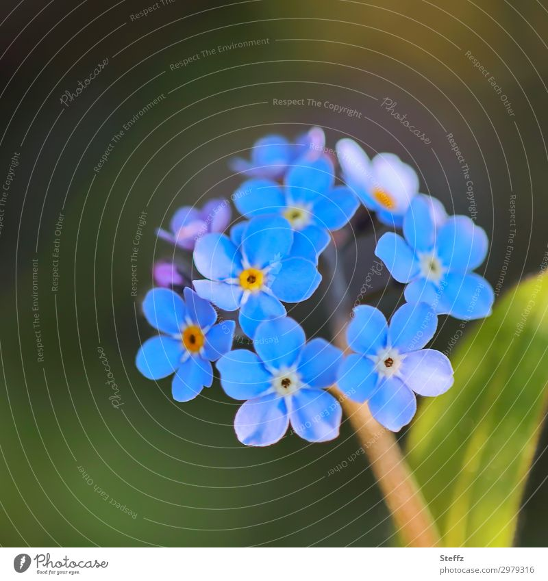 carry on and flourish Valentine's Day Birthday Environment Nature Plant Spring Summer Flower Blossom Wild plant Forget-me-not Garden Blossoming Simple Beautiful