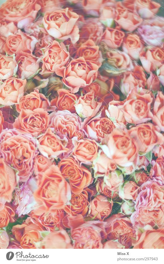 Pink girl's dream Plant Spring Flower Rose Blossom Blossoming Fragrance Bright Moody Infatuation Romance Rose blossom Bouquet Bud Colour photo Close-up Pattern