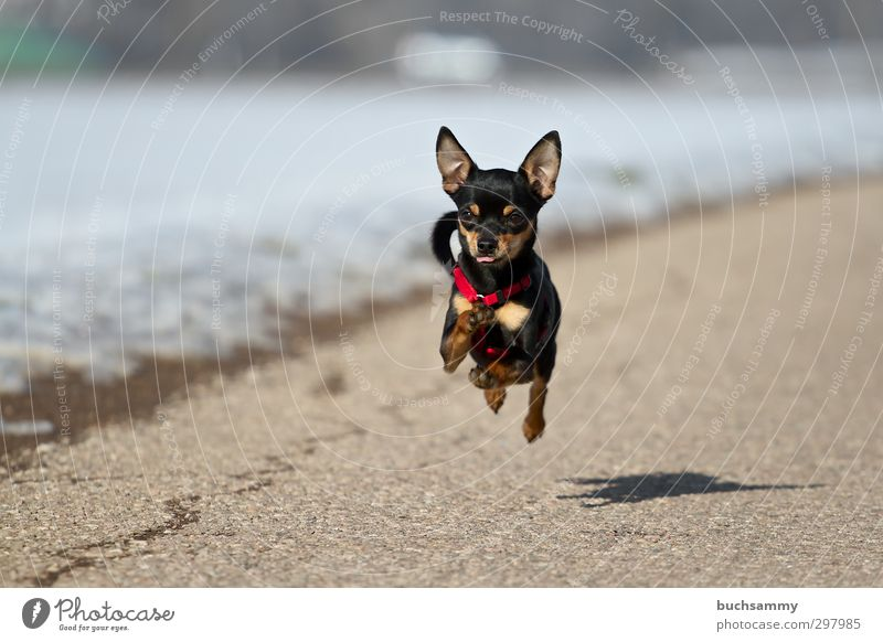 Racing little dog Joy Nature Beautiful weather Street Pet Dog 1 Animal Running Small Speed Black White Action Chihuahua Desert Khivawa Flying Crossbreed