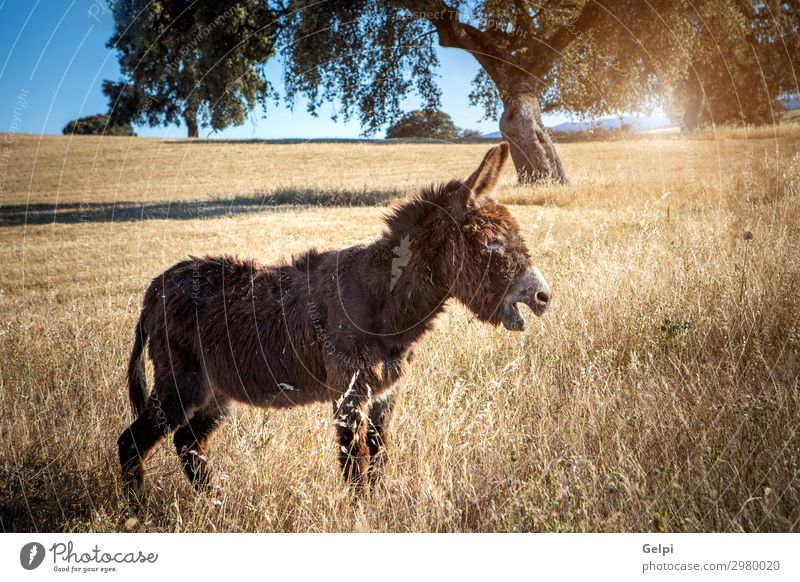Beautiful brown donkey Joy Bottom Nature Landscape Animal Grass Fur coat Pet Horse Funny Cute Brown White Donkey Mammal isolated Rural vertebrate Domestic Mule