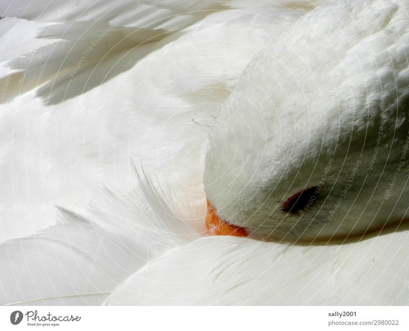 siesta Animal Farm animal Bird Goose Feather 1 Observe Lie Sleep Dream Esthetic Blonde Cuddly Soft White Contentment Safety Safety (feeling of) Calm Relaxation