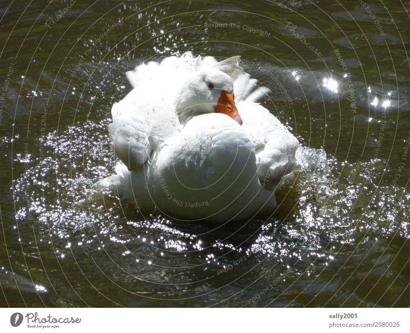 a white house goose takes a refreshing bath... Goose White Lake Water Pond bathe splash around cooling Wash neat Inject Animal Summer Wet Swimming & Bathing