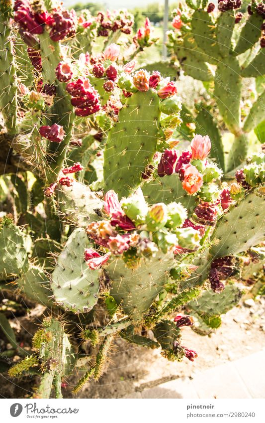Cactus figs on Opuntie Fruit Vegetarian diet Summer Nature Plant Earth Garden Park Blossoming Growth Exotic Bright Thorny Dry Green Pink Fig cactus