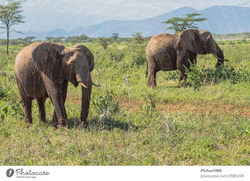 Two elephants in Samburu Park busy taking Playing Vacation & Travel Safari Nature Animal Large Africa Kenya african Battle Behavior big Elephant fight Herbivore
