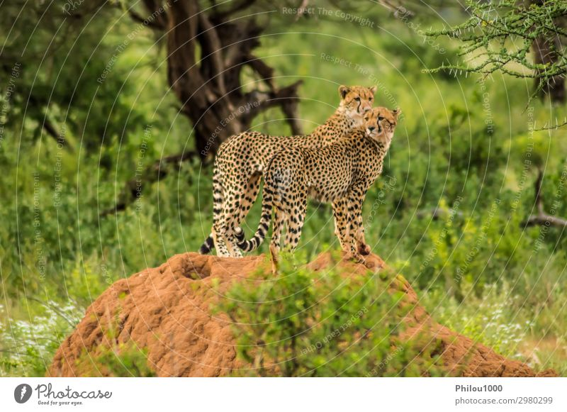 Two cheetahs perched on a termite mound Beautiful Relaxation Couple Environment Nature Landscape Animal Grass Hill Cat Observe Long Dangerous Africa Kenya
