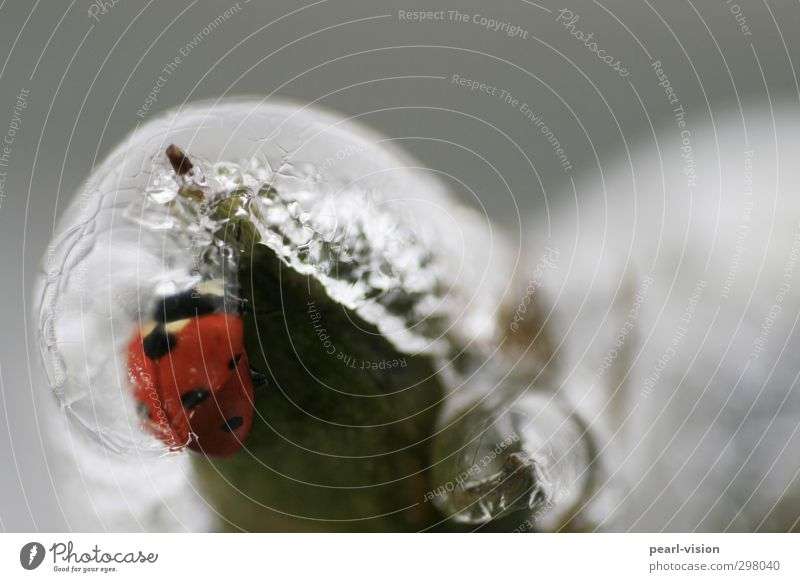 icebug Nature Winter Ice Frost Beetle Ladybird Freeze Colour photo Exterior shot Close-up Copy Space top Shallow depth of field