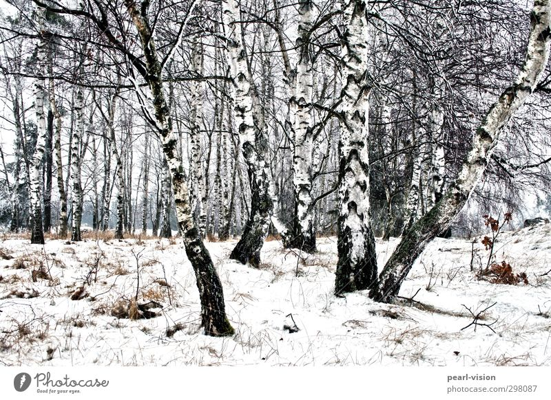 birch grove Landscape Winter Tree Birch tree Birch wood Forest Nature Subdued colour Exterior shot