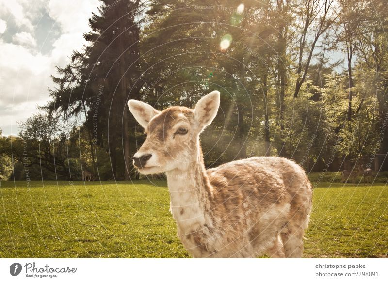Deer light Spring Park Meadow Forest Animal Pet Wild animal Animal face Pelt Zoo Petting zoo Roe deer Female deer 1 Observe To feed Wait Natural Cute Nature
