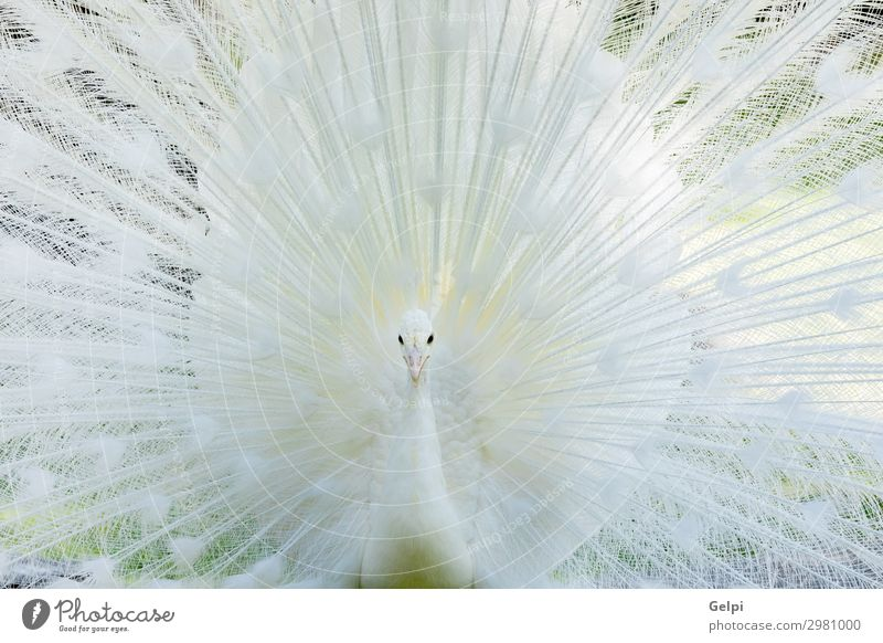 Amazing white peacock opening its tail Elegant Exotic Beautiful Man Adults Zoo Nature Animal Bird Wing Bright Natural Wild White Romance Pride Colour Pure