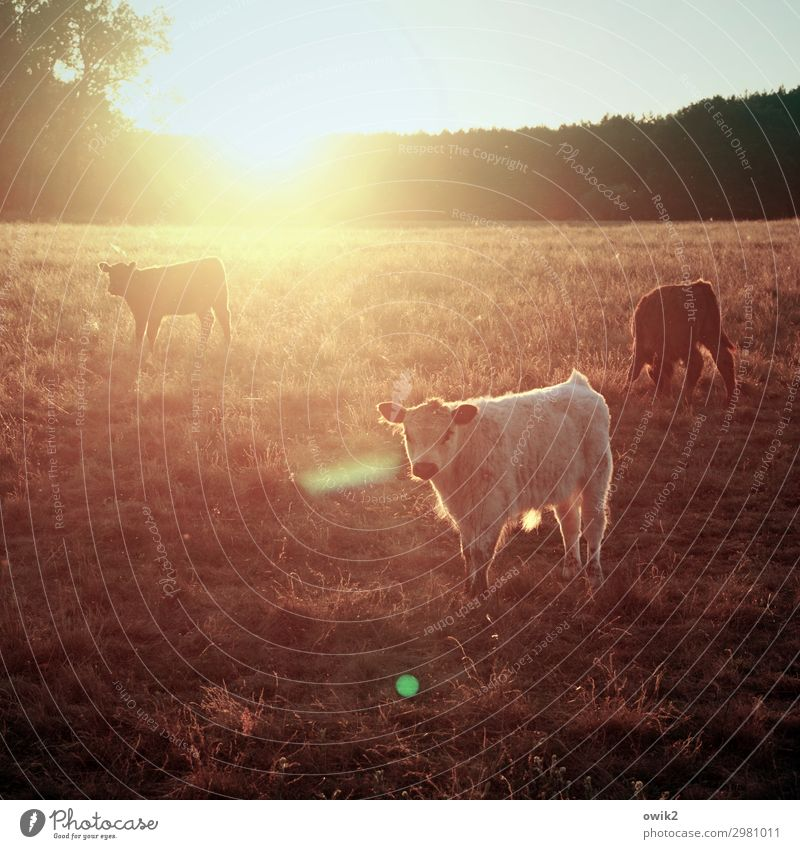 Shag home Horizon Sun Tree Grass Meadow Forest Calf 3 Animal Observe Illuminate Looking Stand Hiking Wait Bright Calm Idyll Contentment Cattle Cattle farming