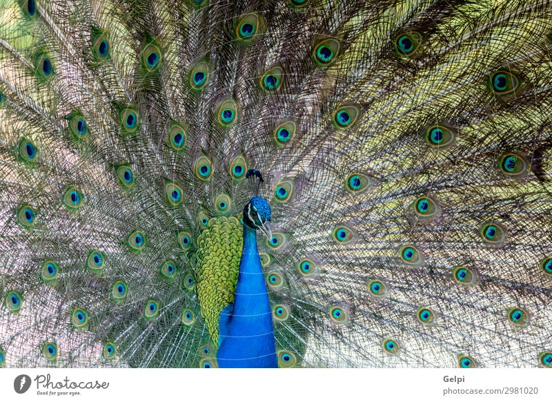 Amazing peacock during his exhibition Elegant Beautiful Man Adults Exhibition Zoo Nature Animal Park Bird Bright Natural Blue Green Turquoise Colour colorful