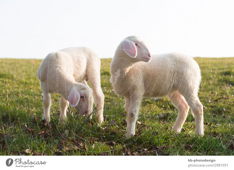 Two young lambs on a meadow Nature Animal Farm animal Pelt Sheep 2 Pair of animals Baby animal Jump lamps wool easter Easter Lamb Shave natural mammal sun