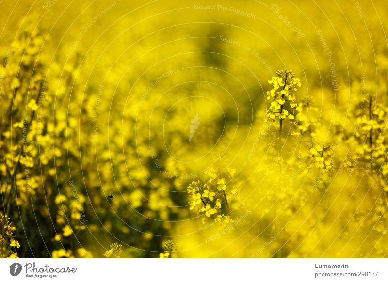 yellow Environment Landscape Spring Summer Plant Agricultural crop Canola field Field Beautiful Yellow Moody Happy Spring fever Optimism Power