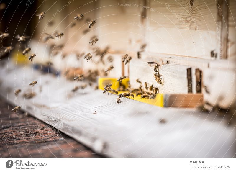 Nature Animal Flying Insect Bee Flock Pollen Farm animal Honey bee Beehive Bee-keeper Bee-keeping Apiary