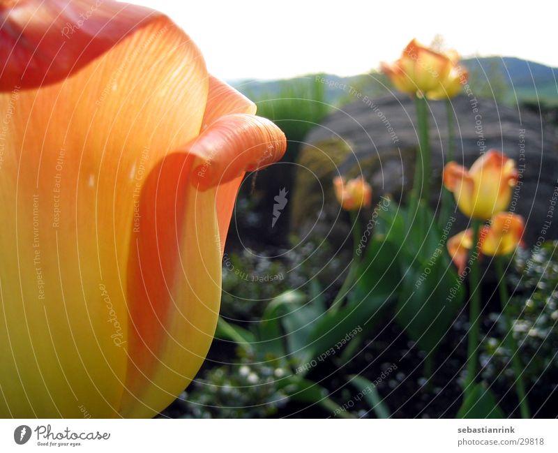 tulip Tulip Flower Yellow Red Plant Orange Stone Nature