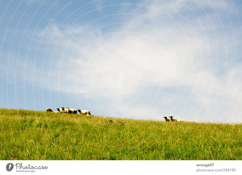 mow mow Landscape Sky Summer Beautiful weather Grass Meadow Hill Island good for the monk Zickersche Mountains Animal Pet Farm animal Flock Sheep