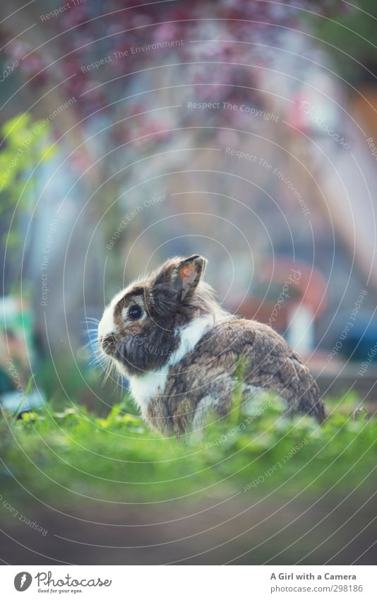 Beautiful Animal Sit Wait Pet Hare & Rabbit & Bunny Attentive Free-roaming