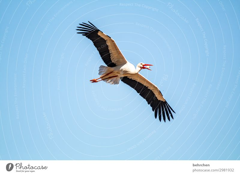meal Nature Sky Wild animal Bird Animal face Wing Stork Feather Chick Flying To feed Beautiful Cool-headed Far-off places Air Glide Foraging Tall Above Blue