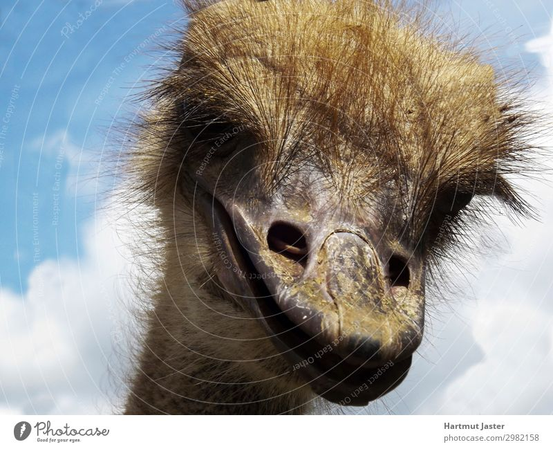 laughly Ostrich Nature Sky Clouds Beautiful weather Animal Farm animal Animal face Zoo 1 Funny Near Natural Brown Colour photo Exterior shot Close-up Deserted