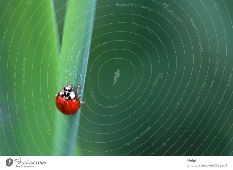 a small ladybird crawls up a green stalk Plant Leaf Park Animal Beetle Ladybird 1 To hold on Crawl Looking Esthetic Small Green Red Black White Uniqueness Life
