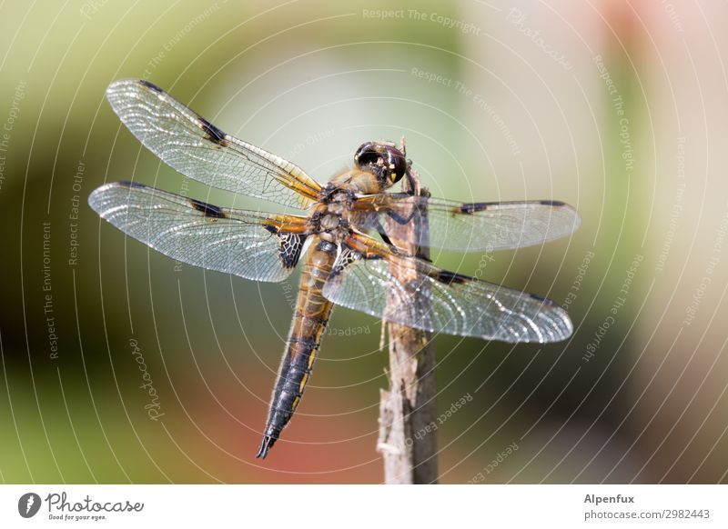 nitwit Animal Wild animal Wing Dragonfly Dragonfly wings Observe Flying To feed Wait Love of animals Beginning Freedom Dream Pond Colour photo Exterior shot Day