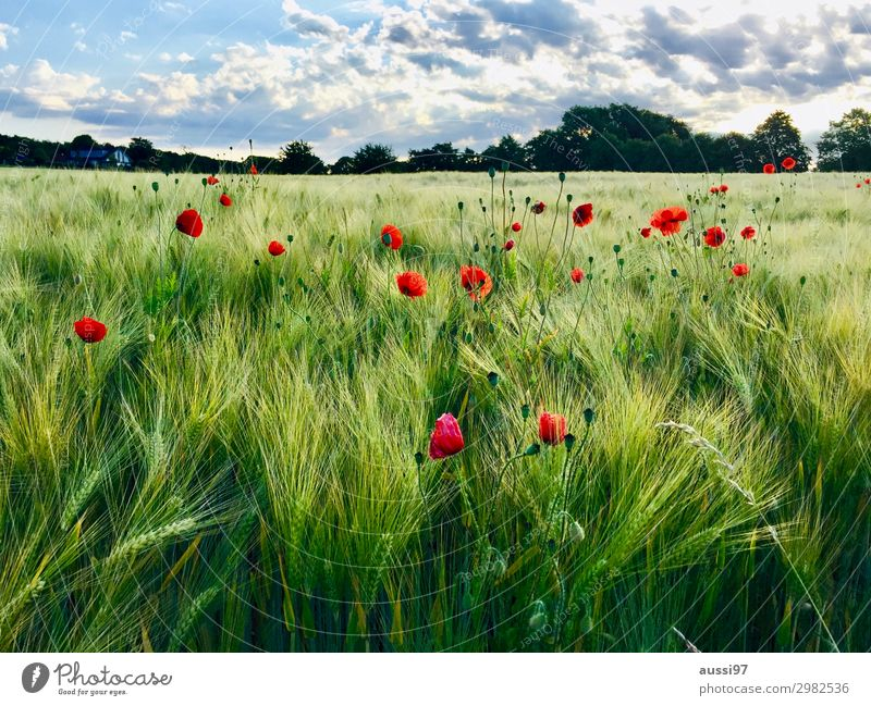 Fields of joy Poppy Grain Summer Fresh To go for a walk Harmonious Vacation & Travel Mature Harvest Shaft of light Grass Agriculture Combine