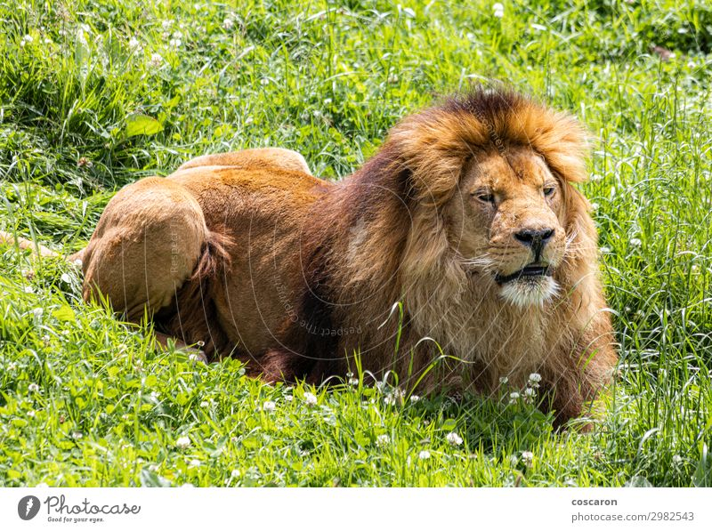 A male lion resting in the African savanna Vacation & Travel Nature Summer Colour Beautiful Green Sun Animal Face Spring Natural Meadow Grass Orange Wild Park