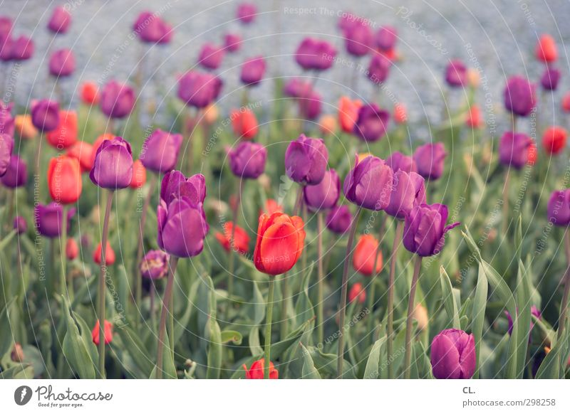 tulips Environment Nature Landscape Plant Spring Flower Tulip Garden Park Blossoming Beautiful Green Violet Red Happiness Joie de vivre (Vitality) Spring fever