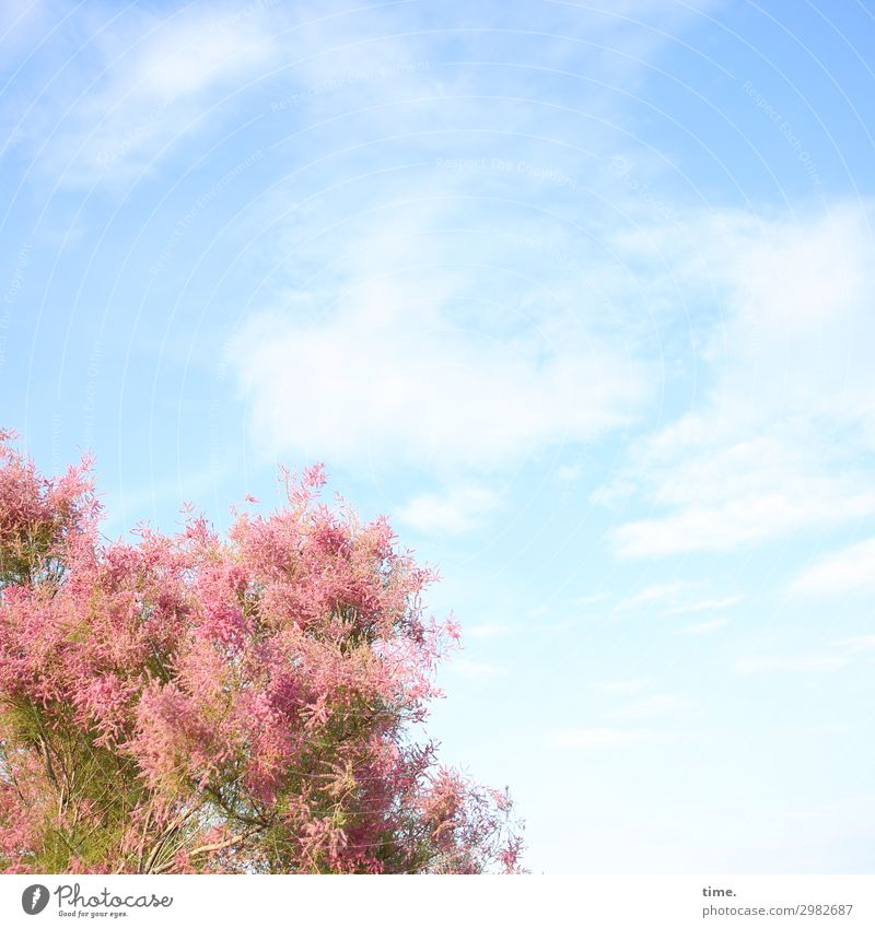 Airy Cloud Horse. Sky Clouds Beautiful weather Tree Blossoming Growth Blue Pink Joie de vivre (Vitality) Romance Life Curiosity Esthetic Movement Discover