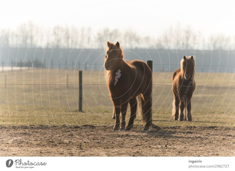 Waiting for food Nature Landscape Tree Pasture Animal Farm animal Horse Pelt Iceland Pony 2 Observe Looking Stand Friendliness Beautiful Natural Curiosity Brown