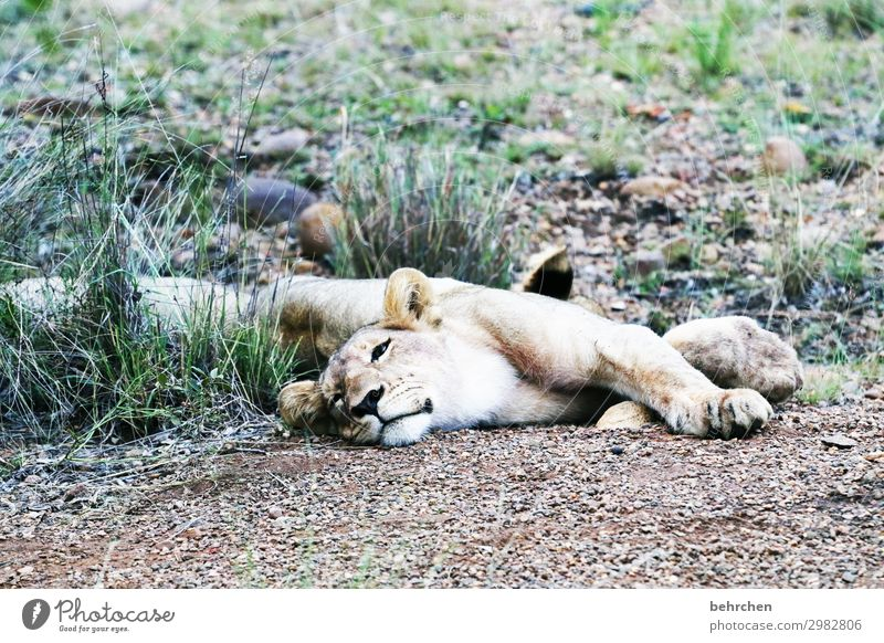 fresskoma Vacation & Travel Tourism Trip Adventure Far-off places Freedom Safari Wild animal Animal face Pelt Lion 1 Relaxation Sleep Exceptional Exotic