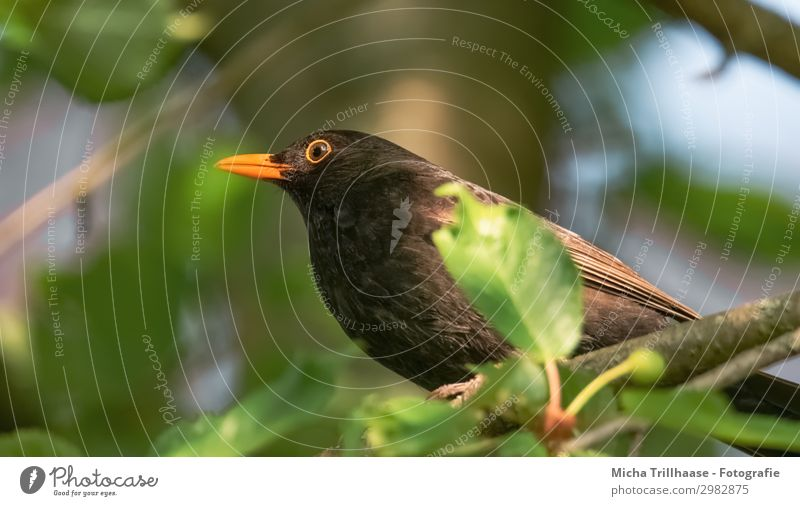 Blackbird in the sunshine Nature Animal Sky Sunlight Beautiful weather Tree Leaf Twigs and branches Wild animal Bird Animal face Wing Claw Beak Eyes Feather