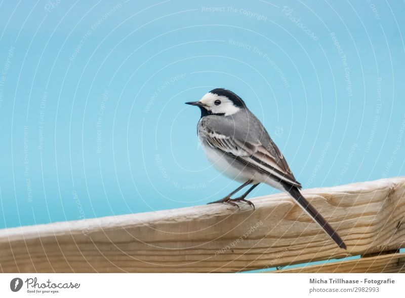 Wagtail on the wooden fence Nature Water Sky Sunlight Beautiful weather Animal Wild animal Bird Animal face Wing Claw Head Beak Eyes Feather Plumed 1 Wood