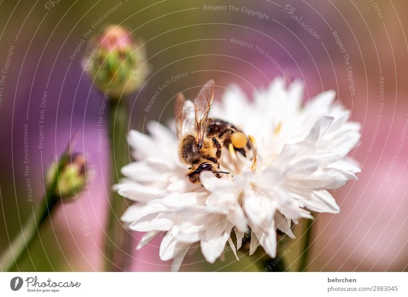 summertime Nature Plant Flower Blossom Garden Meadow Wild animal Bee Animal face Wing 1 Observe Flying To feed Beautiful Small Summer Summery Diligent Nectar