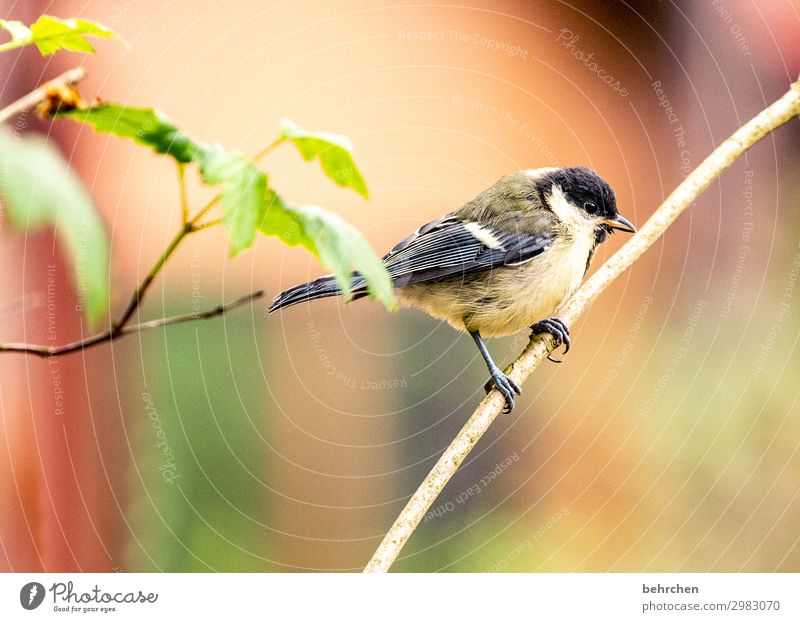 Little Tit Tree Leaf Forest Wild animal Bird Animal face Wing Tit mouse Feather Beak Claw Fantastic Beautiful Small Branch To hold on Flying Freedom
