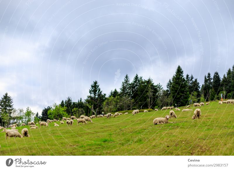 sheep Animal Farm animal Sheep Flock Herd Feeding Meadow To feed Fir tree overcast sky Food Group of animals Animalistic Colour photo Exterior shot Day