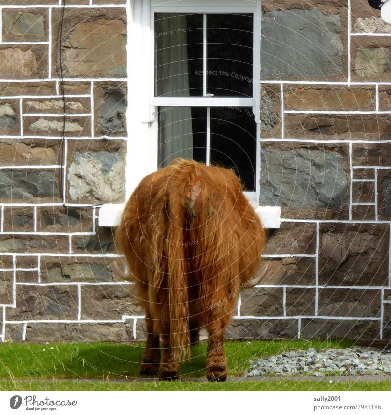 Anybody home...? Scotland House (Residential Structure) Detached house Wall (barrier) Wall (building) Window Animal Farm animal Cow Pelt Highland cattle