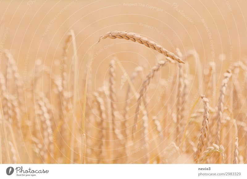 spelt Food Grain Nutrition Nature Plant Summer Grass Agricultural crop Field Healthy Spring fever Spelt Agriculture Grain field Grain harvest Crops Ear of corn