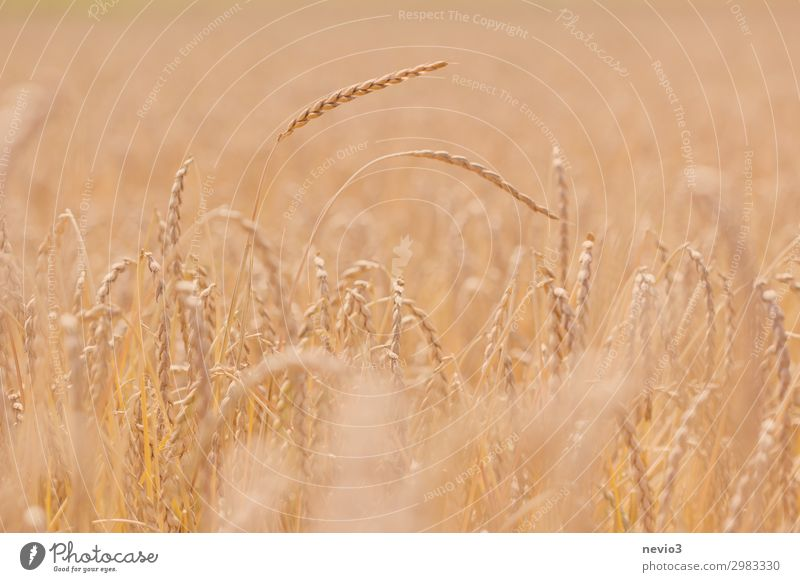 Got the spike Landscape Summer Beautiful weather Warmth Field Sustainability Yellow Gold Spelt Germany Vegan diet Baden-Wuerttemberg Cornfield Grain Grain field