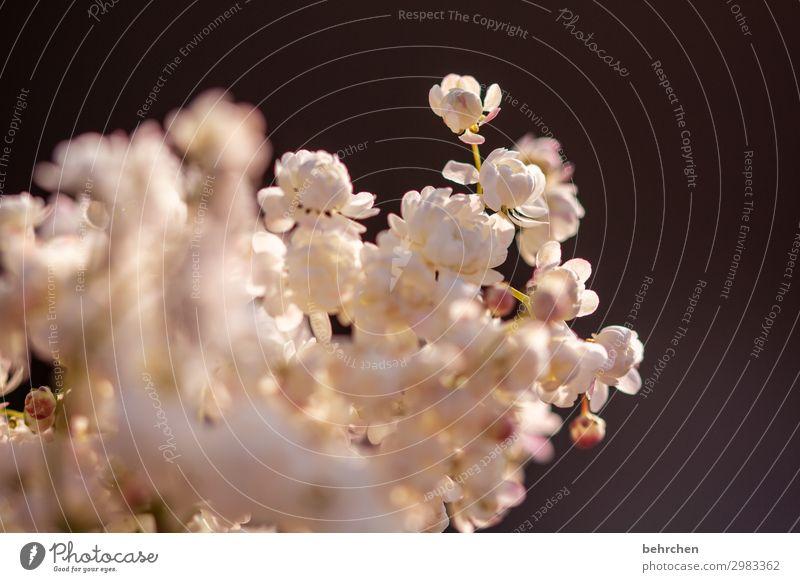 fluffy flowers petals Blossom leave Garden Beauty & Beauty pretty Flower Sun Nature Sunset Back-light Twilight blossom Fragrance Summery Delicate Ease Plant