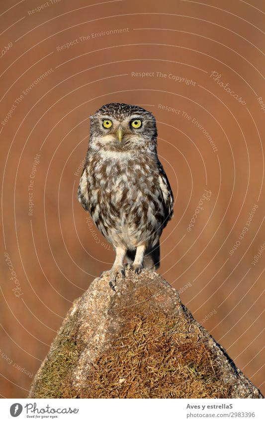 Common owl (Athene noctua) perched on a stone Nature Animal Field Forest Rock Wild animal Bird 1 Free Astute Funny Brown Gray Silver White Colour photo