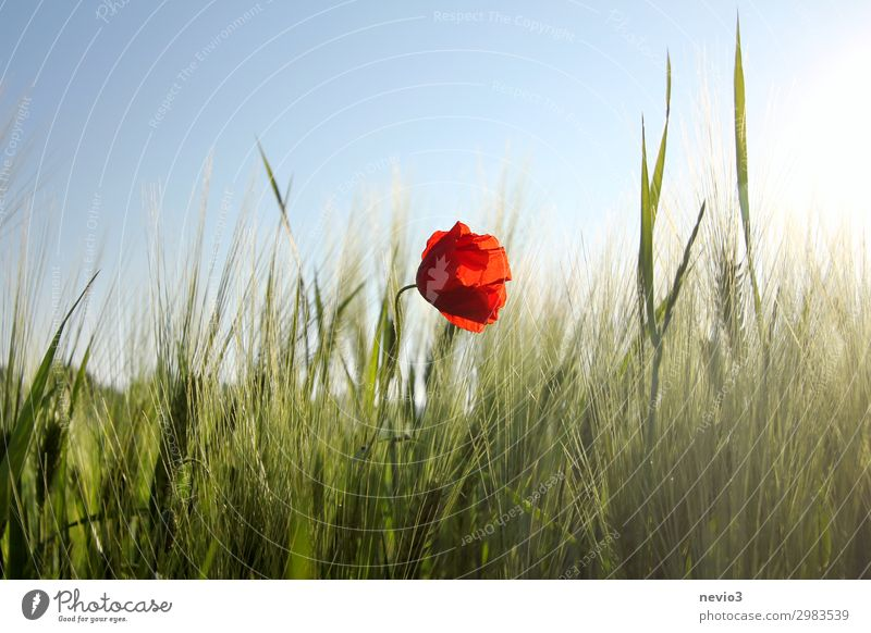 Poppy blossom in a cereal field Environment Landscape Sunlight Spring Summer Weather Beautiful weather Warmth Sustainability Natural Green Red Spring fever