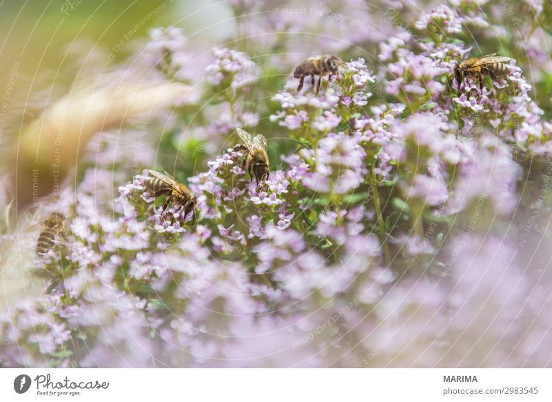 honeybee Nature Plant Animal Bee Flying Apis mellifera apoidea Apiformes bees apidae Pollen Real bees real bee Honey bee European honey bee Bee-keeper Insect